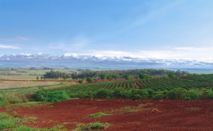 Cafezal na Fazenda Letreiro - Arandu - SP